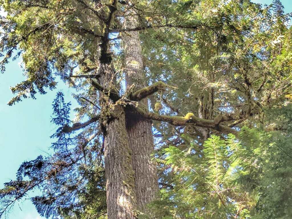 The Bigfoot Tree